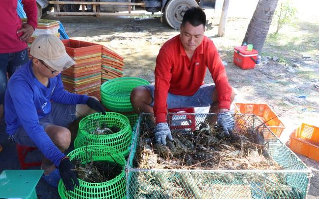 Phú Yên: Nông dân nuôi tôm hùm bất ngờ thở phào nhẹ nhõm bởi thương lái nhộn nhịp quay lại mua tôm - Ảnh 1.
