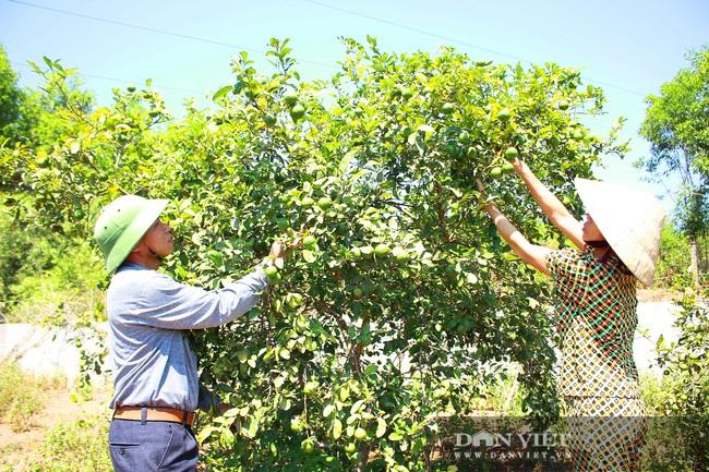 Nghệ An: Ấm no, giàu có nhờ trồng cây ra trái từng chùm treo lủng lẳng trên cành - Ảnh 2.
