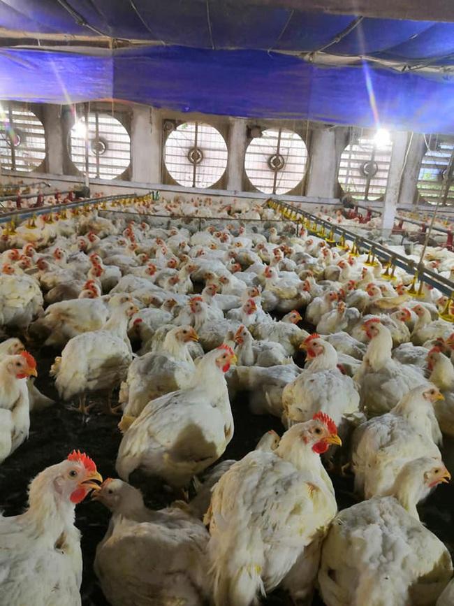 Giá gia cầm hôm nay 16/9: Lò miền Nam đổ xô mua vịt thịt, gà lông trắng đứng giá - Ảnh 2.
