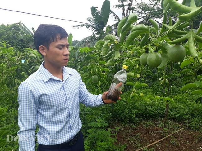 9X Lai Châu trồng chanh leo quả sai lúc lỉu nhờ bí quyết này - Ảnh 2.