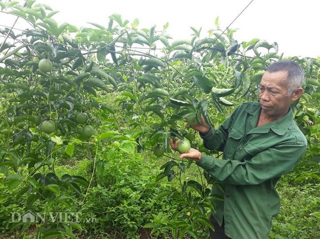 9X Lai Châu trồng chanh leo quả sai lúc lỉu nhờ bí quyết này - Ảnh 1.
