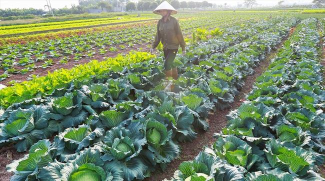 Chúc Sơn thành công với chuỗi sản xuất rau sạch - Ảnh 2.