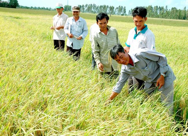 """Nâng tầm gạo Việt xứng danh """"hạt vàng"""" (bài 3): Thành quả của quá trình tái cơ cấu - Ảnh 1."""