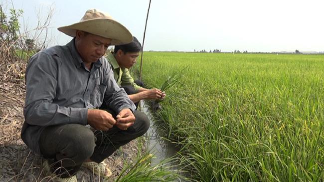 """Nâng tầm gạo Việt xứng danh """"hạt vàng"""" (bài 3): Thành quả của quá trình tái cơ cấu - Ảnh 3."""