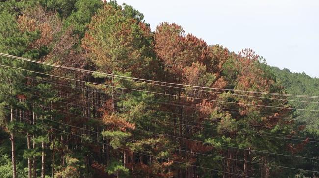 """50 cây thông ba lá lại bị """"đầu độc"""", tỉnh Lâm đồng chỉ đạo xử lý nghiêm - Ảnh 1."""