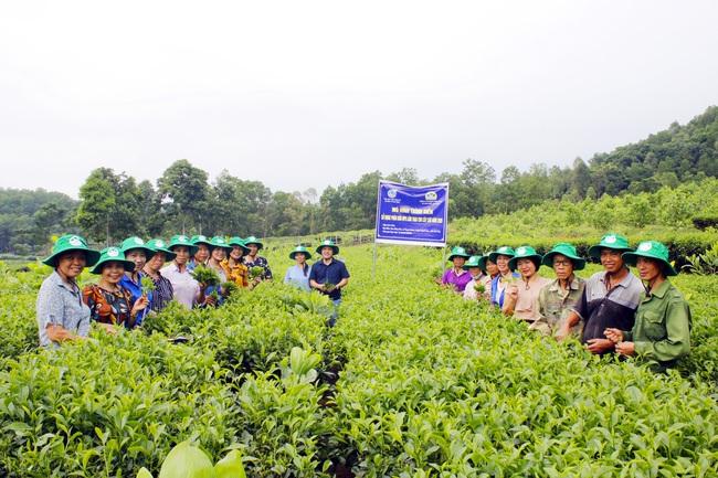 """Phú Thọ: Vườn chè nhiều búp, năng suất hơn cả mong đợi nhờ """"ăn"""" phân bón chuyên dụng - Ảnh 2."""