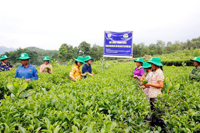 """Phú Thọ: Vườn chè nhiều búp, năng suất hơn cả mong đợi nhờ """"ăn"""" phân bón chuyên dụng - Ảnh 1."""