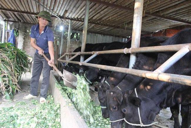 Hà Nội có 92 trang trại chăn nuôi bò thịt quy mô lớn - Ảnh 1.
