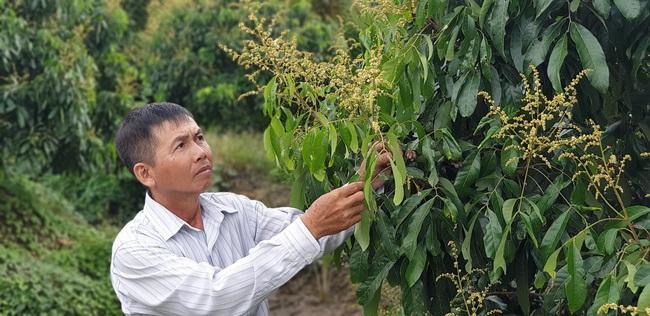 Trồng nhãn Ido, anh nông dân ở Bến Tre thu gần 2 tỷ đồng mỗi năm - Ảnh 1.
