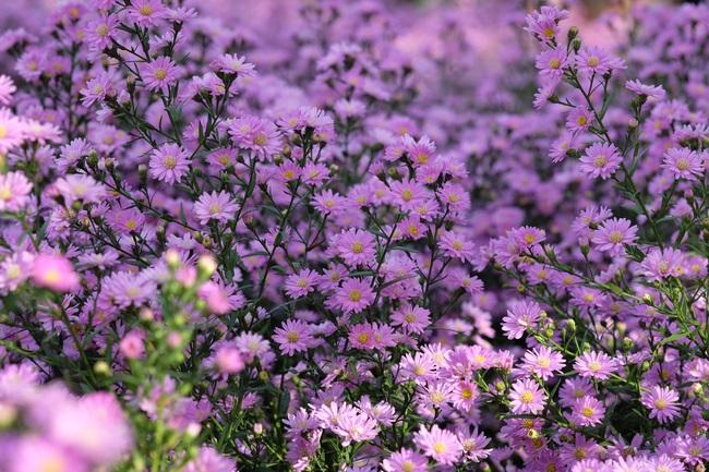 Mê mẩn vườn hoa thạch thảo được trồng đầu tiên tại Đà Nẵng - Ảnh 4.