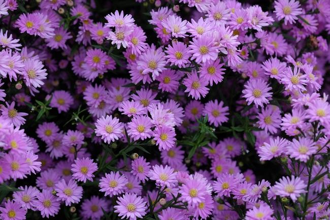 Mê mẩn vườn hoa thạch thảo được trồng đầu tiên tại Đà Nẵng - Ảnh 2.