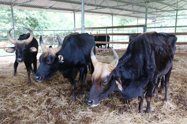 Cận cảnh đàn bò tót F1 đói trơ xương ở Vườn Quốc gia Phước Bình, Ninh Thuận - Ảnh 6.