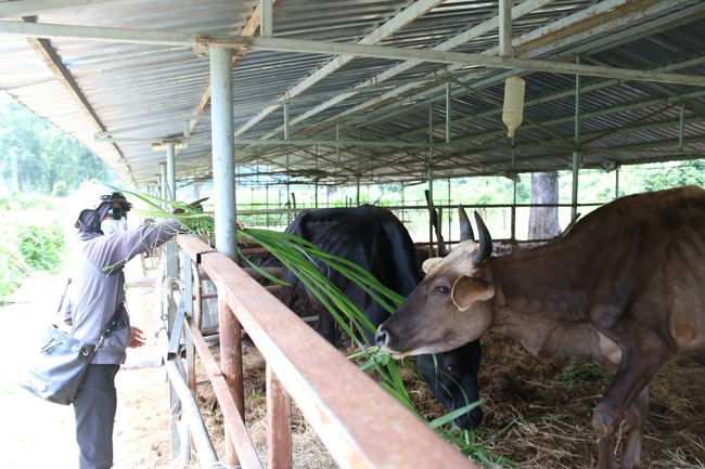 Cận cảnh đàn bò tót F1 đói trơ xương ở Vườn Quốc gia Phước Bình, Ninh Thuận - Ảnh 1.