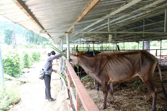 Cận cảnh đàn bò tót F1 đói trơ xương ở Vườn Quốc gia Phước Bình, Ninh Thuận - Ảnh 14.