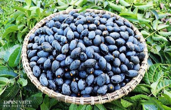 Trồng thứ quả màu đen, ăn xong mang hạt bán tiếp nông dân ở đây khấm khá  - Ảnh 3.