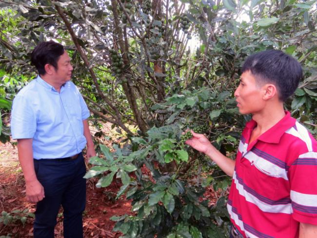 Nhìn lại 5 năm phát triển cây mắc ca ở Việt Nam - Ảnh 1.