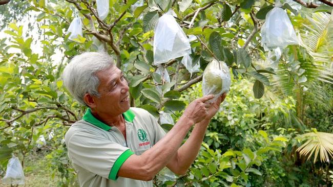 Đồng Tháp: Trồng 120 cây ổi lạ, ra trái to bự bất thường, tưởng không ai dám ăn mà nhiều người ham ăn không tưởng - Ảnh 2.