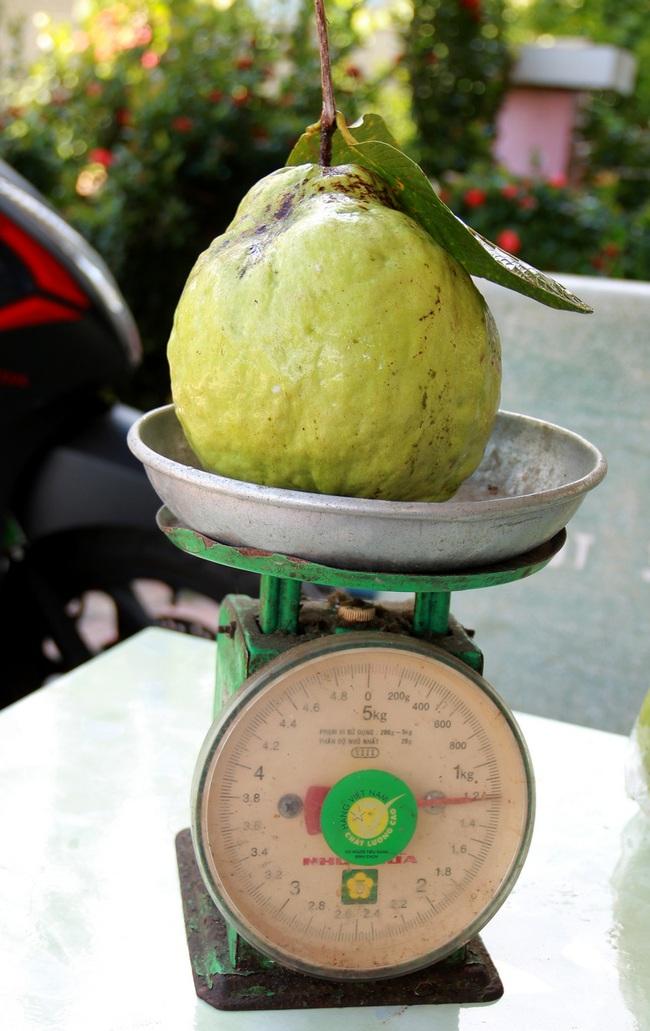 Đồng Tháp: Trồng 120 cây ổi lạ, ra trái to bự bất thường, tưởng không ai dám ăn mà nhiều người ham ăn không tưởng - Ảnh 3.