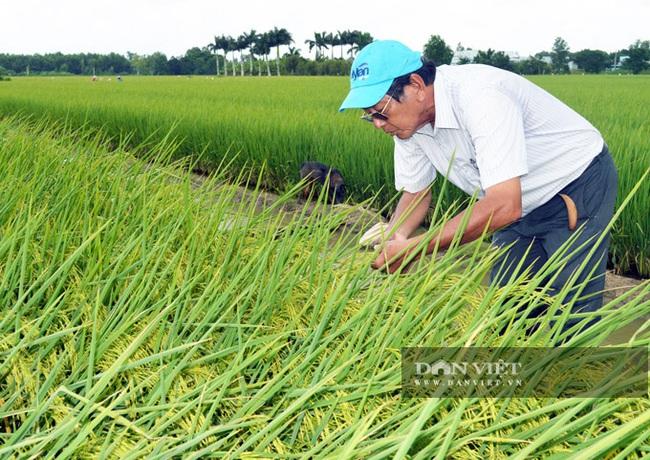 Kỹ sư Hồ Quang Cua: Cần xử lý nghiêm việc lấy lúa lương thực làm giống - Ảnh 4.