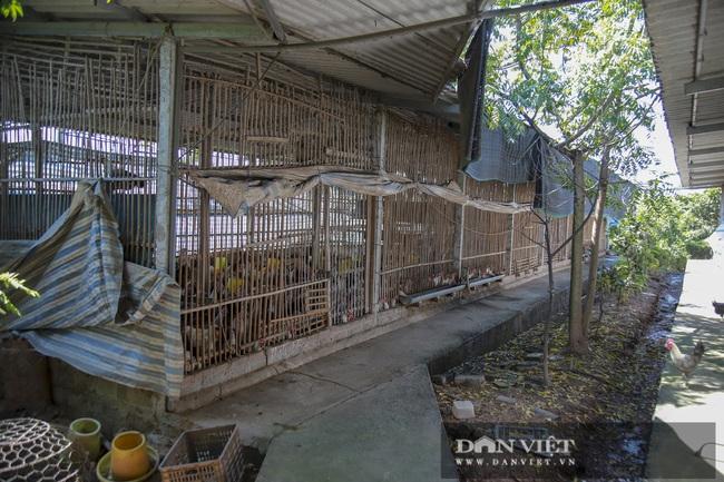 Hà Nội: 8X nuôi giống gà người Mỹ làm thú cưng, Việt Nam là món bổ dưỡng, lãi 500 triệu đồng/năm - Ảnh 6.