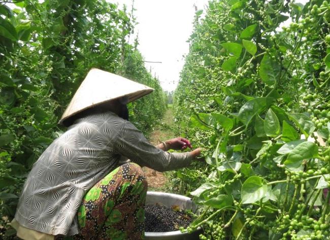 An Giang: Lạ, trồng mồng tơi không ăn lá, để cây ra hạt già hái phơi khô bán 210.000 đồng/ký