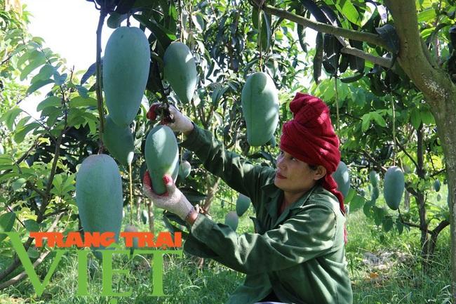 Nông dân Mai Sơn làm giàu bằng cây ăn quả trên đất dốc - Ảnh 2.