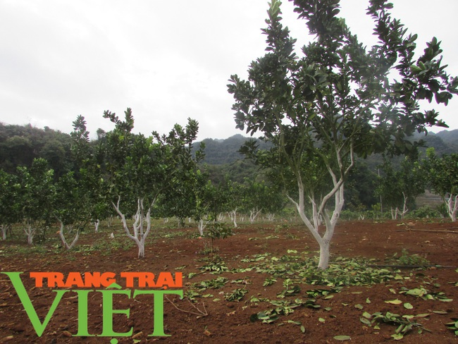 Nông dân Mai Sơn làm giàu bằng cây ăn quả trên đất dốc - Ảnh 7.
