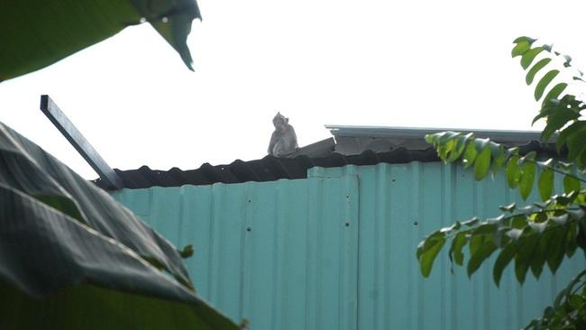 Sẽ đưa đàn khỉ hoang trộm trái cây, bê cả ông địa tháo chạy ở Sài Gòn về môi trường tự nhiên - Ảnh 1.