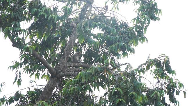 Sẽ đưa đàn khỉ hoang trộm trái cây, bê cả ông địa tháo chạy ở Sài Gòn về môi trường tự nhiên - Ảnh 2.