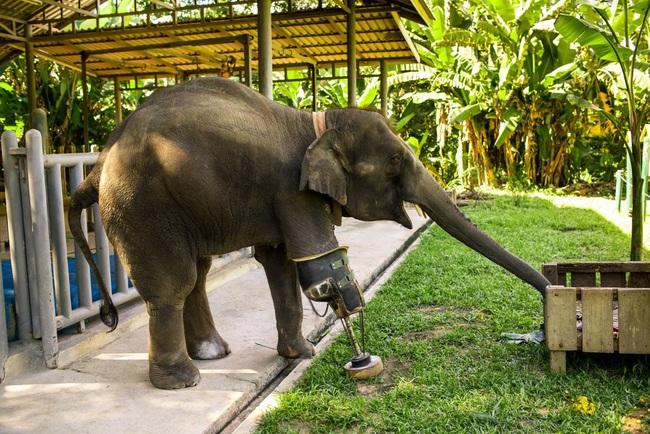 Câu chuyện cảm động về Mosha, nàng voi thiếu một chân - Ảnh 3.