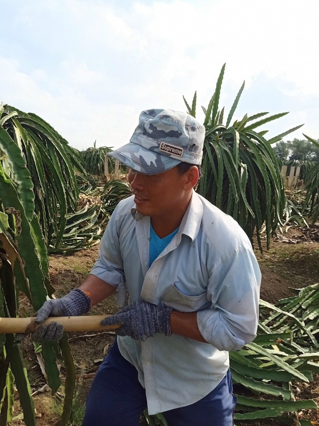 """Long An: Thanh long hết thời hoàng kim, nông dân chặt bỏ tính thay bằng… """"cây bê-tông"""" - Ảnh 1."""
