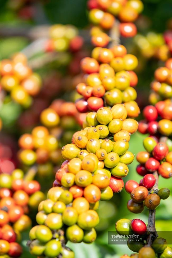 Mùa trái cà phê chín nơi Đại ngàn  - Ảnh 5.