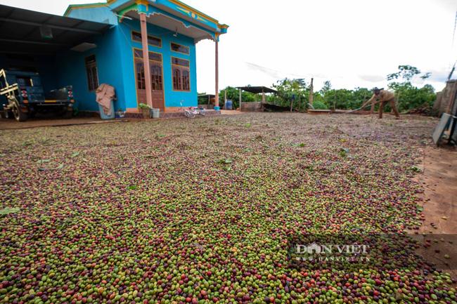Mùa trái cà phê chín nơi Đại ngàn  - Ảnh 8.