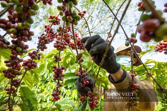 Mùa trái cà phê chín nơi Đại ngàn  - Ảnh 1.