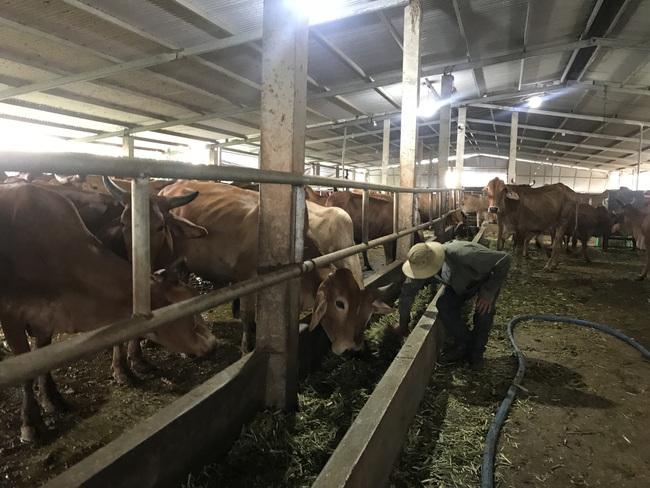 """Cận cảnh trang trại nuôi bò """"khủng"""" lấy phân giúp nông dân Đồng Nai lời 1 tỷ mỗi năm - Ảnh 13."""