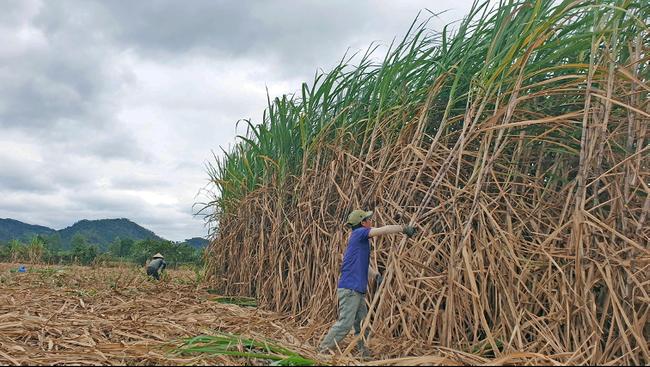 TTC Sugar tăng giá thu mua, nông dân trồng mía phấn khởi - Ảnh 1.