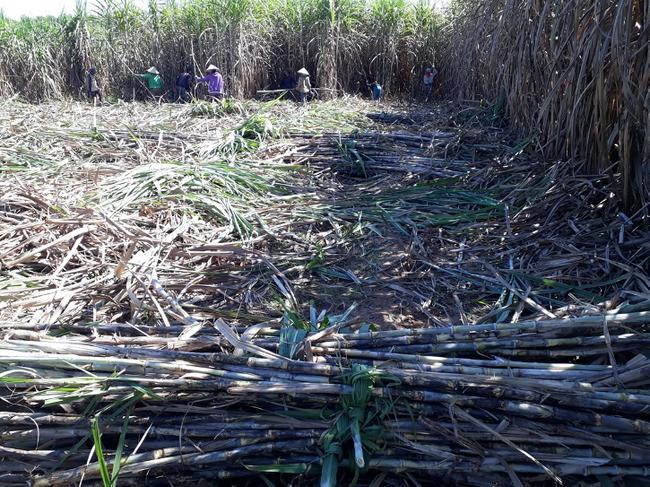 TTC Sugar tăng giá thu mua, nông dân trồng mía phấn khởi - Ảnh 2.