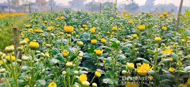Nông dân Nghệ An tất bật chăm sóc hoa Tết - Ảnh 8.