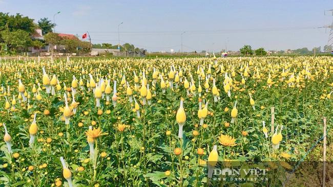Nông dân Nghệ An tất bật chăm sóc hoa Tết - Ảnh 2.