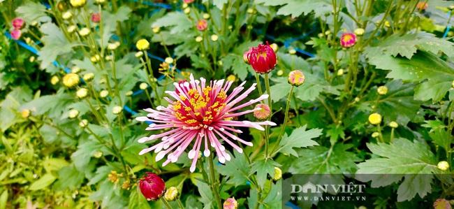 Nông dân Nghệ An tất bật chăm sóc hoa Tết - Ảnh 7.
