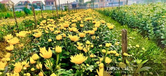 Nông dân Nghệ An tất bật chăm sóc hoa Tết - Ảnh 6.