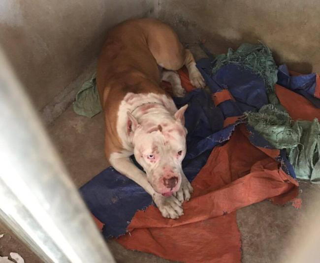 """Phú Thọ: Chó Pitbull """"nổi điên"""" tấn công khiến 2 người nhập viện  - Ảnh 2."""