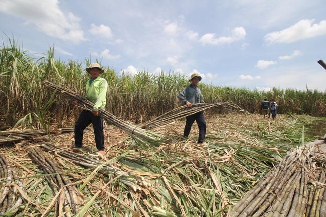 Sóc Trăng: Giá mía tăng cao kỷ lục, công ty mía đường đưa người đến tận ruộng thu hoạch giúp dân - Ảnh 1.