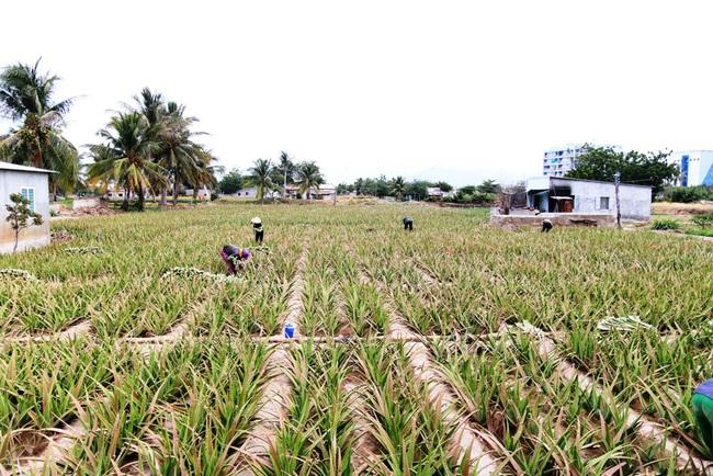 Ninh Thuận: Nông sản liên tục tăng giá, nông dân phấn khởi đón tết - Ảnh 3.