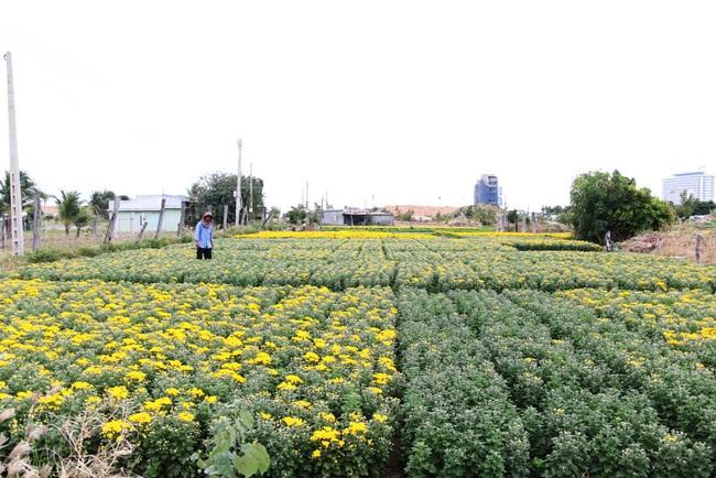 Ninh Thuận: Nông sản liên tục tăng giá, nông dân phấn khởi đón tết - Ảnh 1.