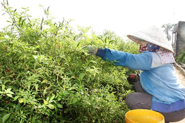 Ninh Thuận: Nông sản liên tục tăng giá, nông dân phấn khởi đón tết - Ảnh 5.