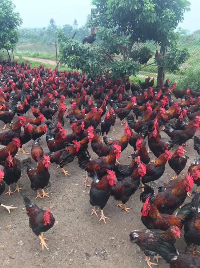 Giá gia cầm hôm nay 24/1: Cập nhật giá gà, vịt mới nhất tại các vùng - Ảnh 3.