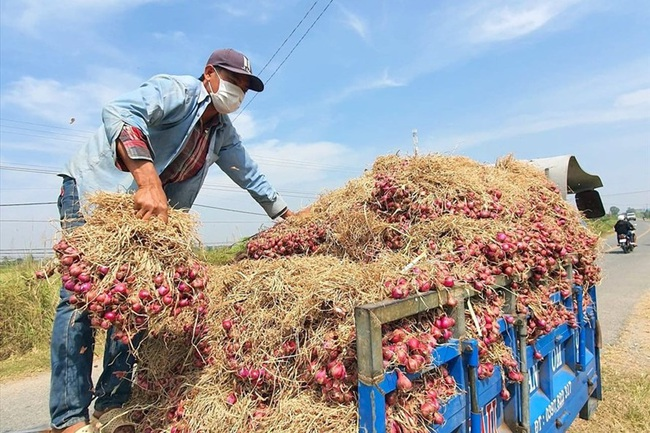 Sóc Trăng: Theo chân ớt chỉ thiên, hành tím tăng giá mạnh, đào 1ha hành củ, nông dân lãi ròng nửa tỷ đồng - Ảnh 1.
