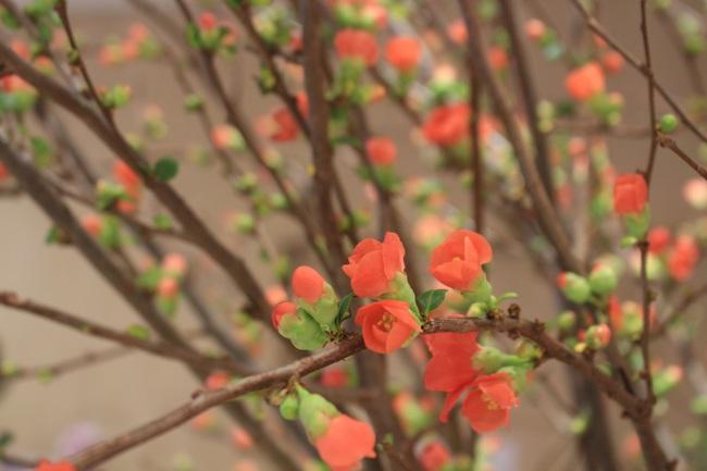 Đào Hà Nội chưa về, nhà giàu Sài Gòn mua đào Sakura nhập khẩu tiền triệu chơi Tết - Ảnh 3.