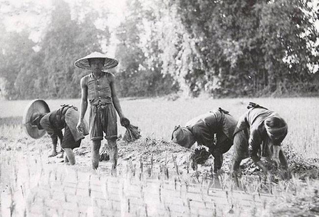 Vì sao người Việt gọi cơm tẻ là mẹ ruột? - Ảnh 1.
